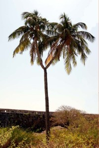 Y-Shaped Coconut Tree